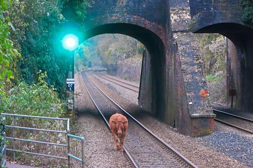 Glaring Bull, Avoncliff Halt 02.12.2013 Control informed.
