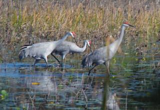 Sandhill Cranes-004