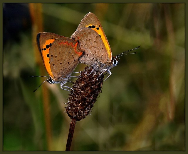 Small Coppers pairing