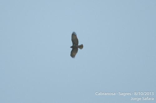 Circaetus species Cabranosa, Sagres, Portugal October 2013