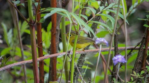 Green-crowned Warbler