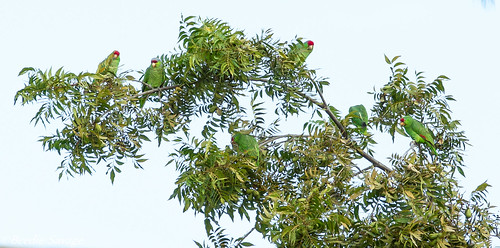 Red-Crowned Parrots of Pasadena by Beedie's Photos