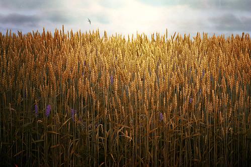 Field of Dreams by jumpinjimmyjava