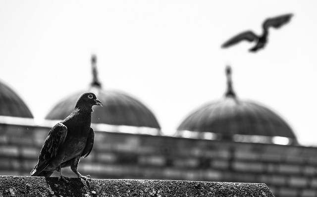 Pigeon hunter