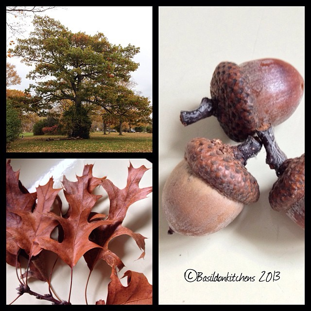 Oct 18 - when I grow up {I want to be an oak tree!} #photoaday #sandbanks #oak #trees #titlefx #acorns #leaf #leaves #fall #autumn