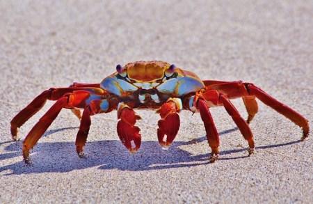 Sally Lightfoot Crab On Beach (grapsus grapsus), Galapagos