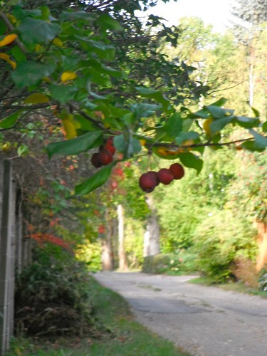 Crabapples in a lane