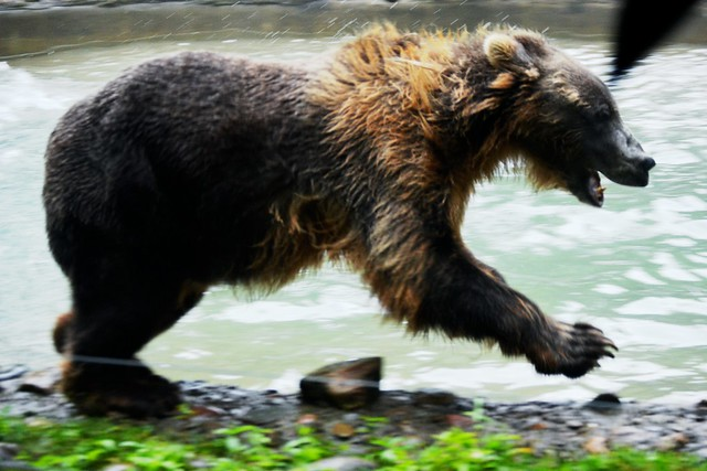 Romping Young Grizzly