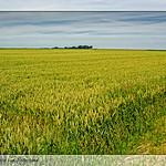 Graanvelden Oost Groningen