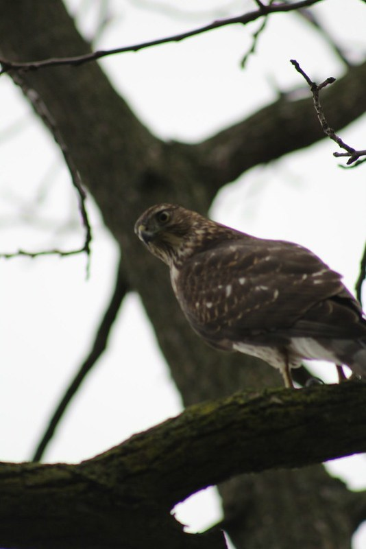 Jouvenile Coopers Hawk