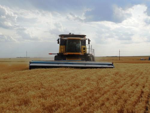Stripper header in the wheat