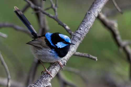 Superb Fairy-wren 2013-09-27 (_MG_2129)