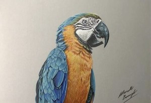 drawings drawing parrot realistic pencil bird macaw yellow ara marcello colored draw barenghi artist birds ararauna theguardian colorful objects hyper