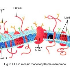 Diagram Of Fluid Mosaic Model Cell Membrane Sample Er For Hotel Management System Aglasem Schools