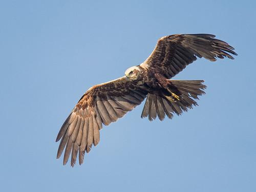 Female Marsh Harrier-spring morning