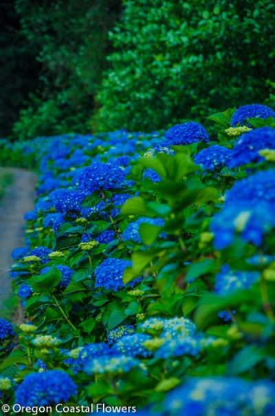 wholesale blue hydrangeas