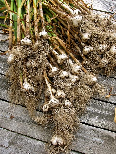 7.22.13 Garlic Harvest