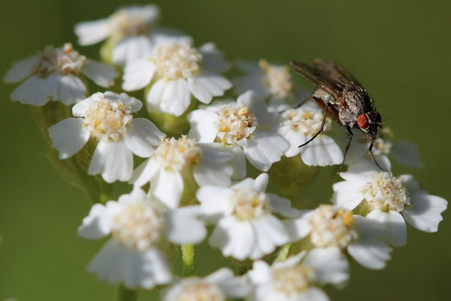 Fly on Yarrow flower