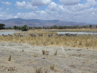Zebras at Manyara Ranch