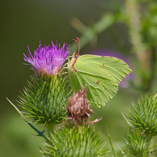 Citron - Gonepteryx rhamni