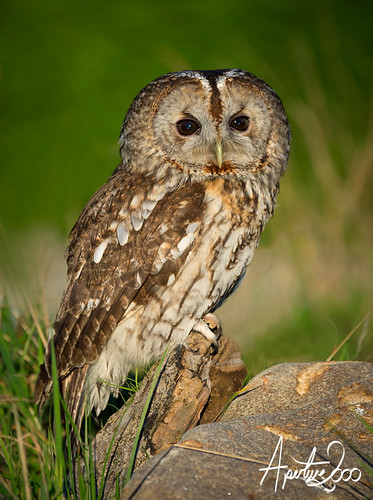 Tawny Owl by TheApertureMan