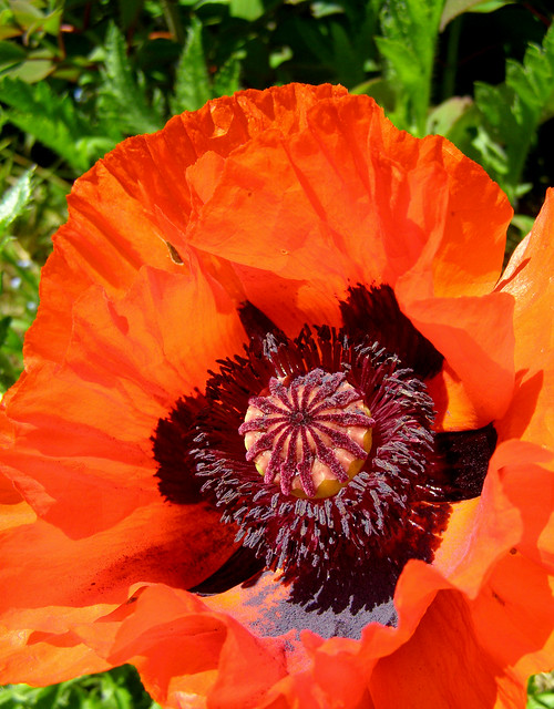 Giant red poppy and the Eden Project