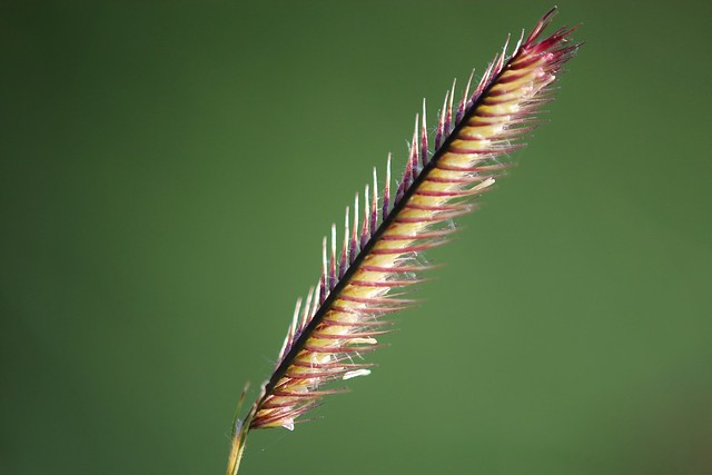 Moskito Grass