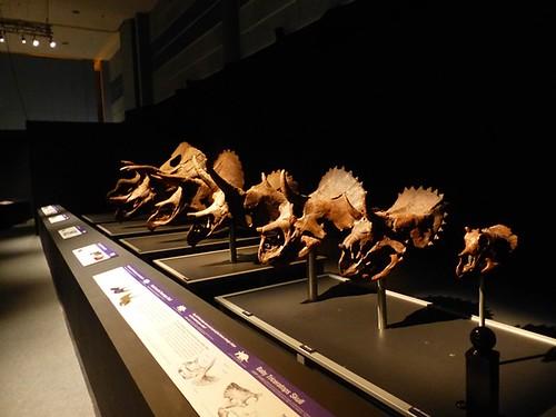 Titans - Triceratops skulls
