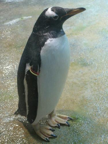 長崎ペンギン水族館のペンギン