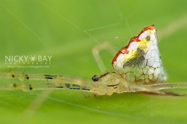 Mirror spider, Thwaitesia sp. photo Nick Bay