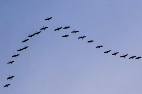 Migrating common cranes