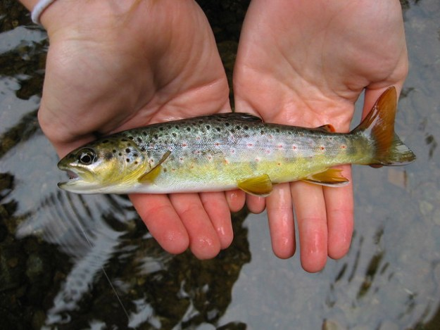 Gunpowder RIver Colorful Brown Trout