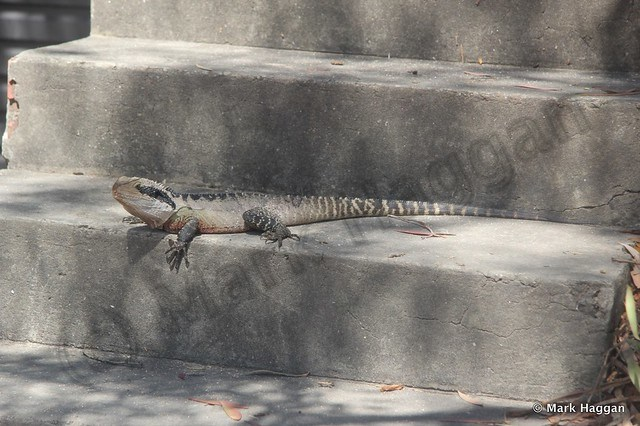 A lizard in Manly, New South Wales, Australia