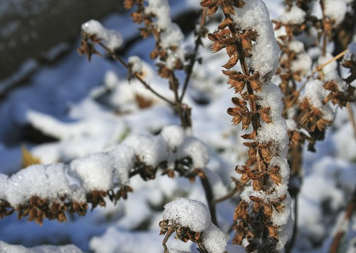 Snow-covered basil