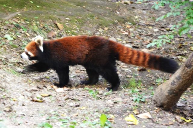 Firefox Strut