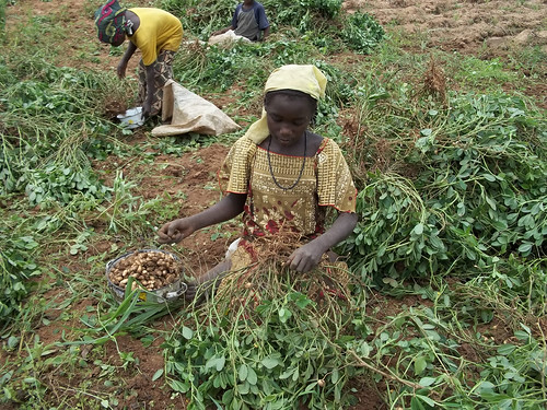Children harvesting groundnuts