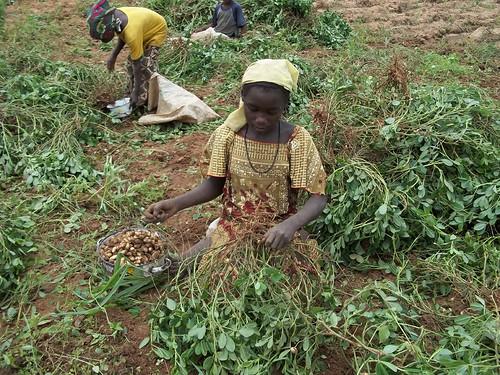 Children harvesting groundnuts