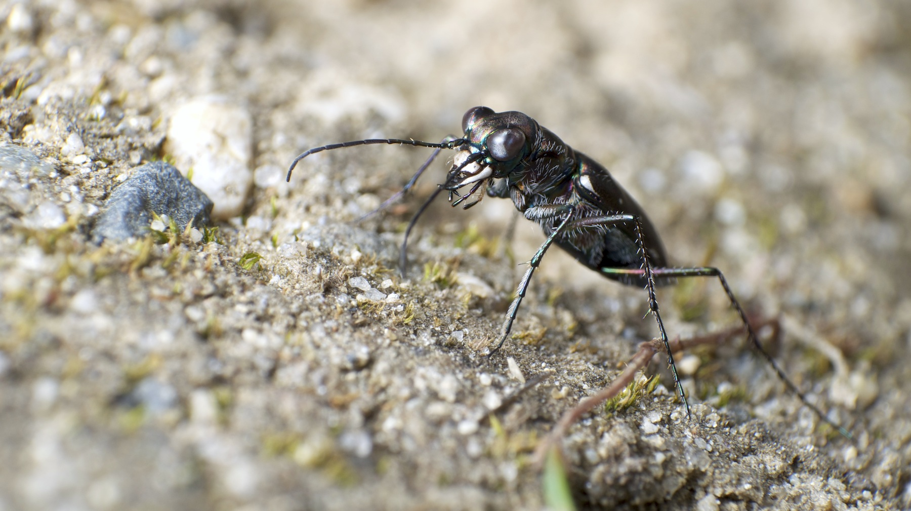 Living the Nightmare (Tiger beetle)