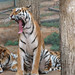 Tiger Yawn