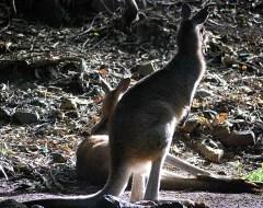 Cangaroos - Hamilton Island - Whitsundays