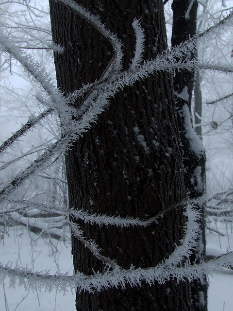 ice-fogged striped maple and pignut hickory