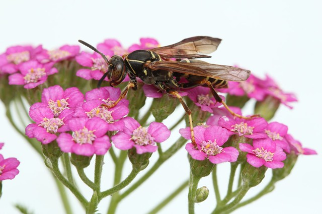 Yellowjacket on pink yarrow