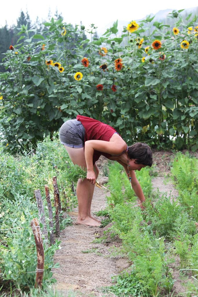 laura harvesting carrots