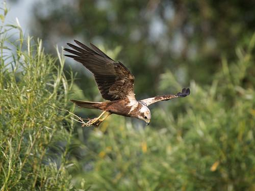 Male Marsh Harrier with prey_2