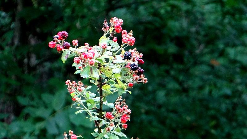 DSC03667 berries,  busch 200713