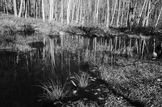 High contrast Pine Swamp