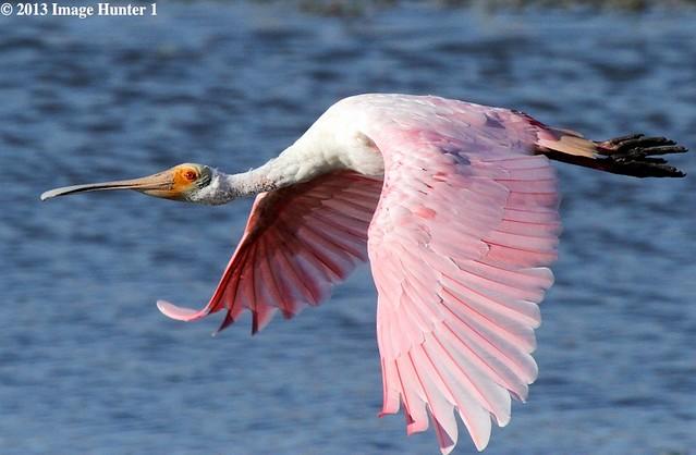 Roseate Spoonbill - Cameron Prairie, Louisiana
