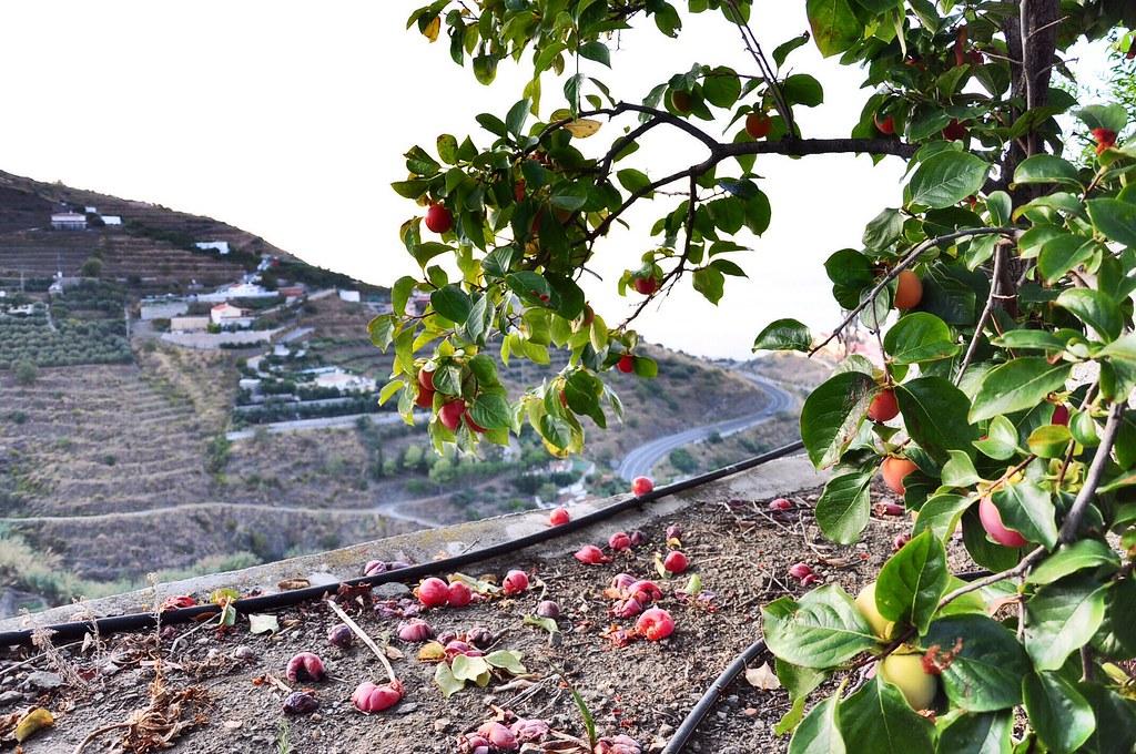 Vườn nhà David. Cây hồng trái chín chỉ để rụng và để chim ăn