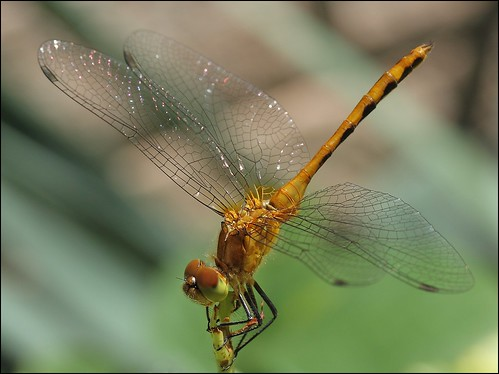Orange Dragon Fly