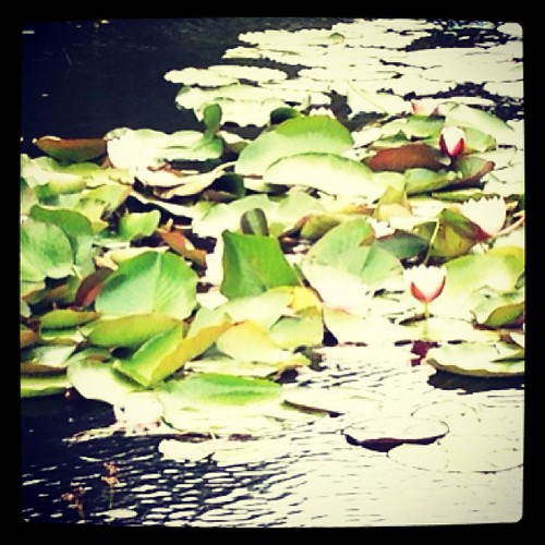 Water lilies on the quarry pool.